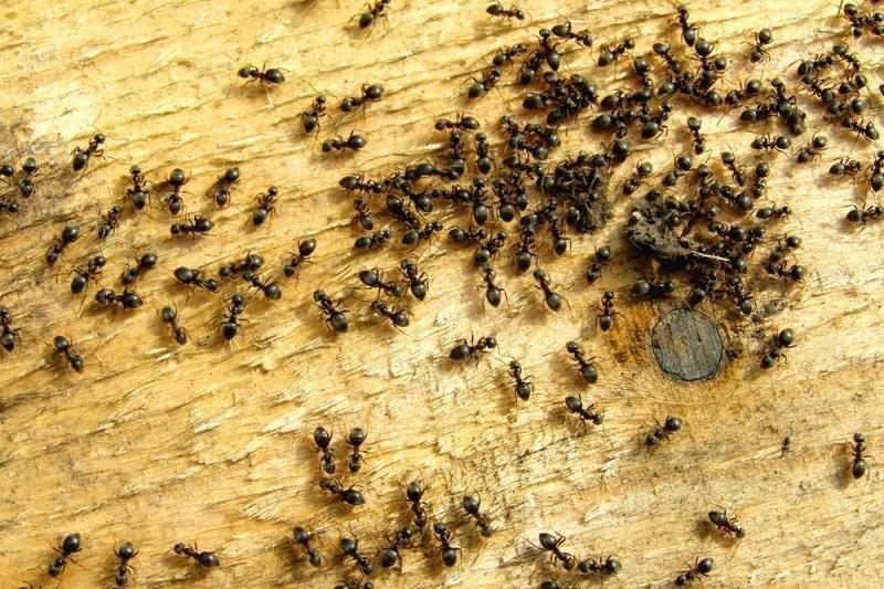 Kodėl skruzdės laižo susirgusią gentainę?