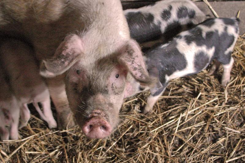 Kiaulių maras kainų parduotuvėse nepakeis