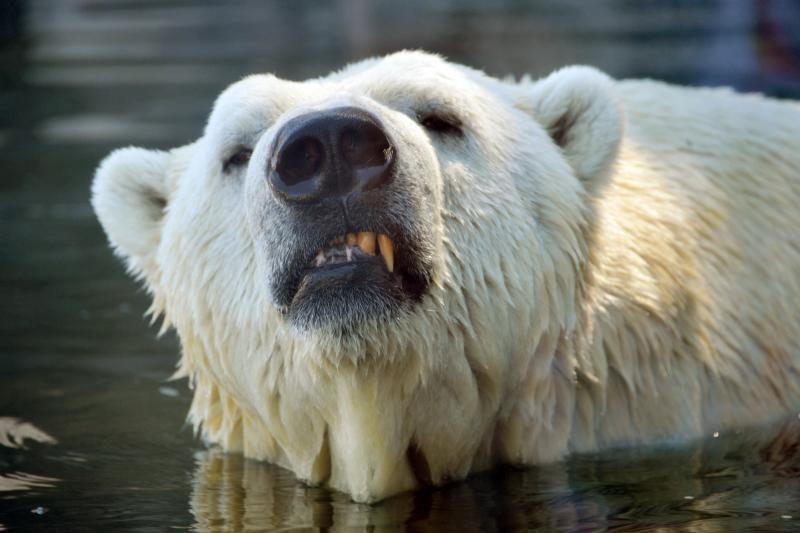 Į kaimelį atklydo 80 grobio besidairančių baltųjų lokių