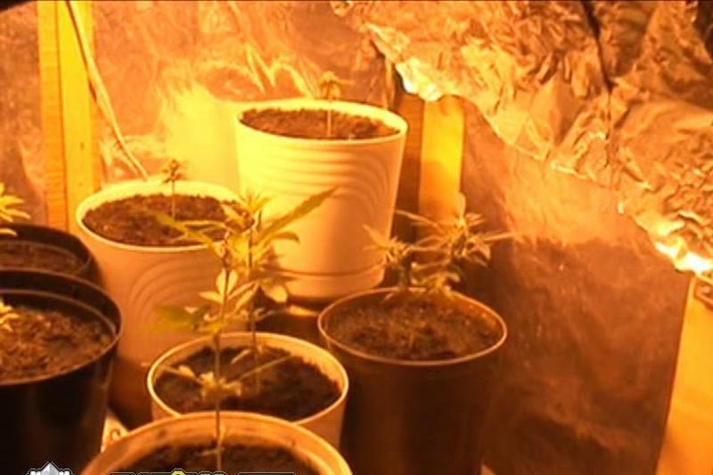 Klaipėdietis kanapes augino savo bute, spintoje