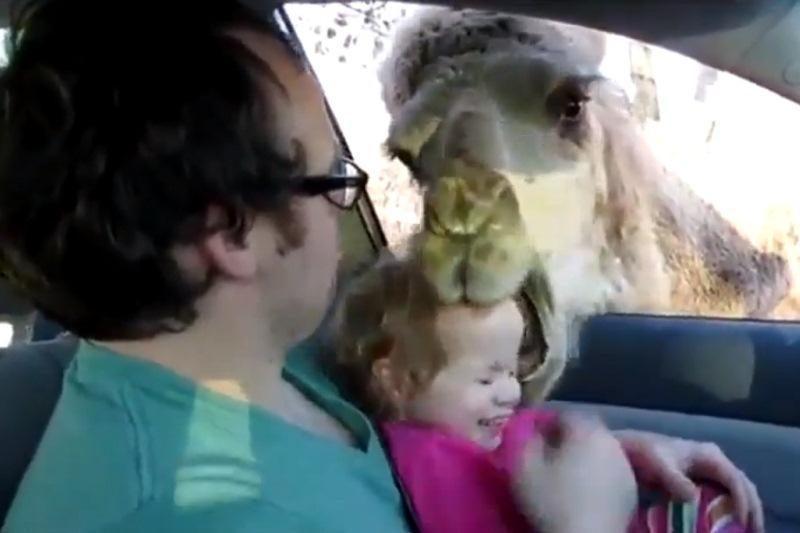 Bamblio galvą kupranugaris palaikė skanėstu