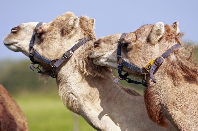 Australijos problema – milijonai laukinių kupranugarių