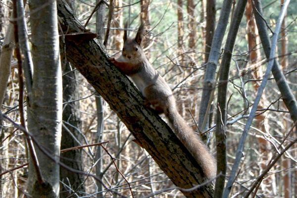 Voverių populiacijai mažinti - sėklos su kontracepcija