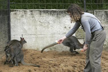 Kauno zoologijos sode nugaišo kengūra - manoma, kad nuo lankytojų maisto