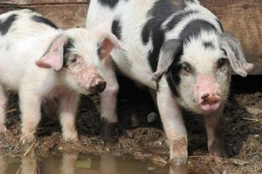 Laikinai uždraustas kiaulių eksportas į Leningrado sritį