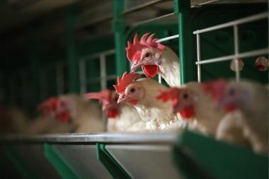 Paukštienos eksportą skatina pigi produkcija