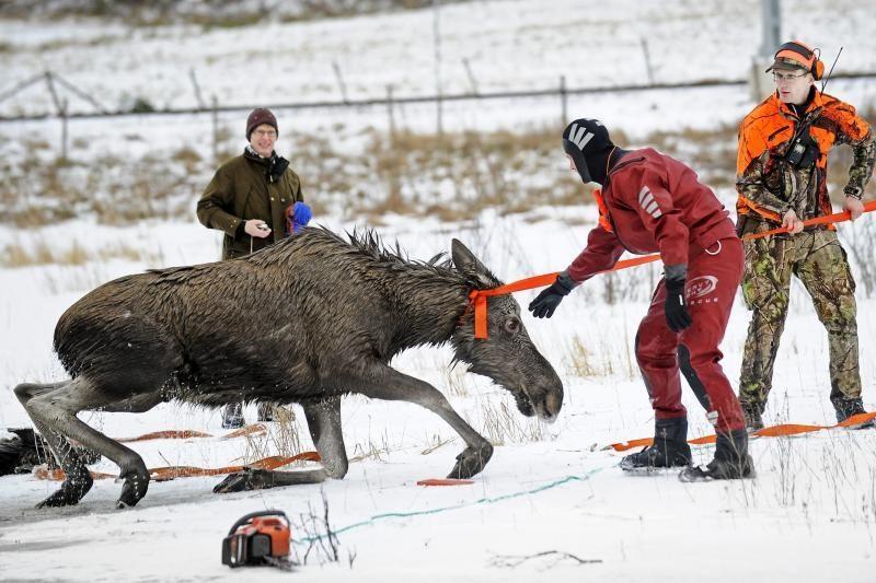 Švedijoje iš ledinio vendens išgelbėtas briedis
