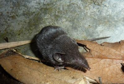 Staigmena iš gamtos: atpažinta nauja žinduolių rūšis