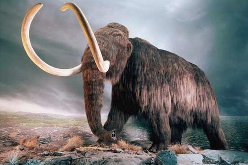 Japonijos ir Rusijos mokslininkai tikisi klonuoti mamutą