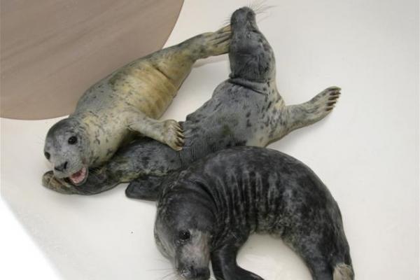 Trys Jūrų muziejaus ruoniai – jau Baltijoje