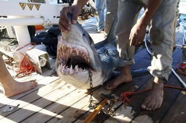 Tyrimas: rykliai – puikūs navigatoriai