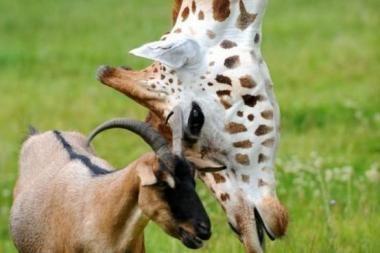 Žirafa Geraldas ir ožka Eddie - neišskiriami jau 3 metus