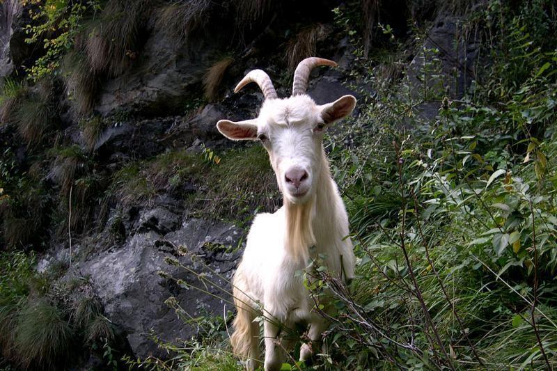 Kretingoje benamis lytiškai santykiavo su ožka