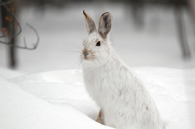 Lietuvoje prasidėjo žiemos kiškių medžioklė