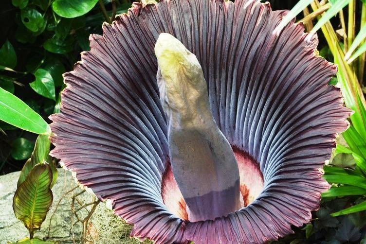 Šilutiškės namuose pražydo egzotiška gėlė - falas