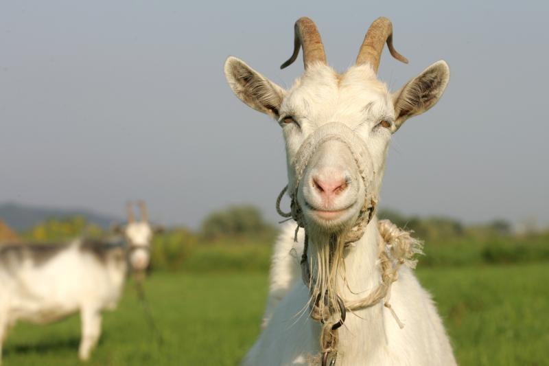 Per ožkos pieną erkių platinama liga užsikrėtė keturi žmonės