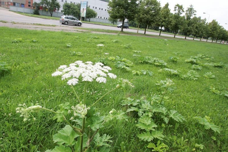 Kauno botanikos sode – Sosnovskio barščių naikinimo pamoka