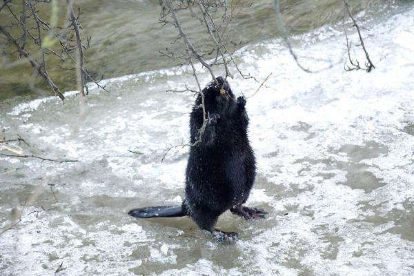 Spąstai žvėrims Lietuvoje pardavinėjami bet kam