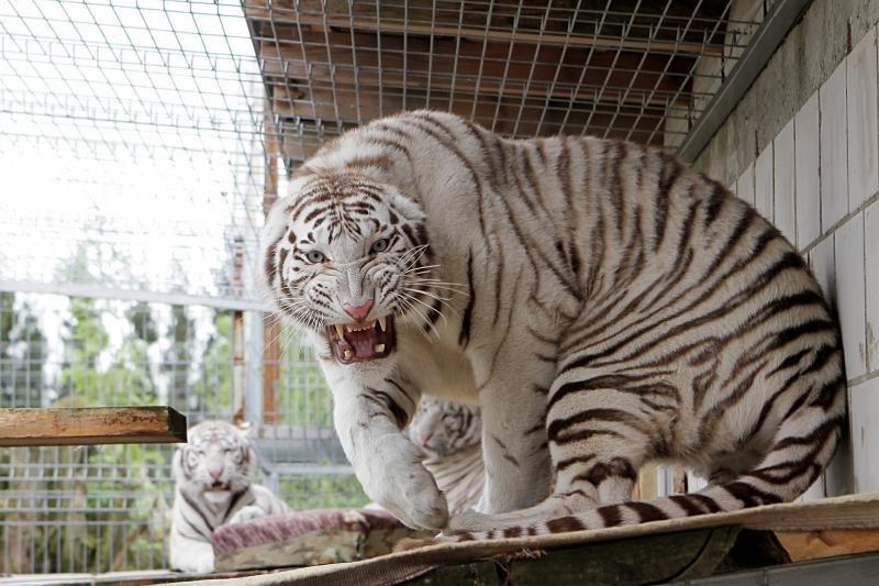 Zoologijos sode šalia Klaipėdos apsigyveno trys baltosios tigrės