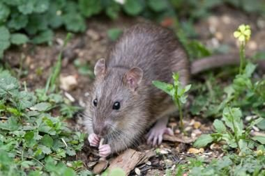 Kauno apskrityje padaugėjo graužikų platinamų susirgimų atvejų