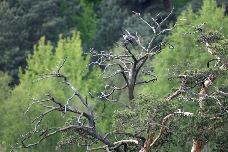 Juodkrantėje pušynus keičia lapuočių miškai