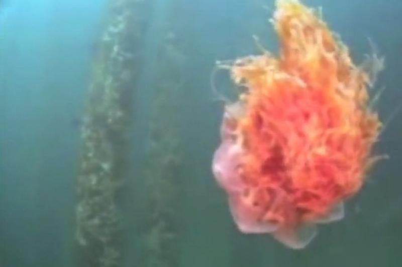 Didžiosios Britanijos vasarotojai įspėjami dėl medūzų antplūdžio