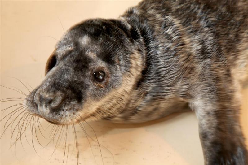 Jūrų muziejus priglaudė paplūdimyje rastą nusilpusį ruoniuką