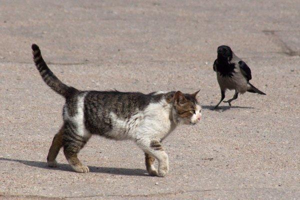 Varnas ir katinas: akis už akį...