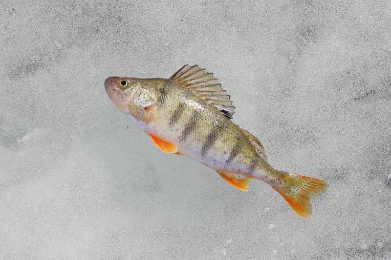 Kaune poledinės žvejybos mėgėjai meškerių dar nedžiauna