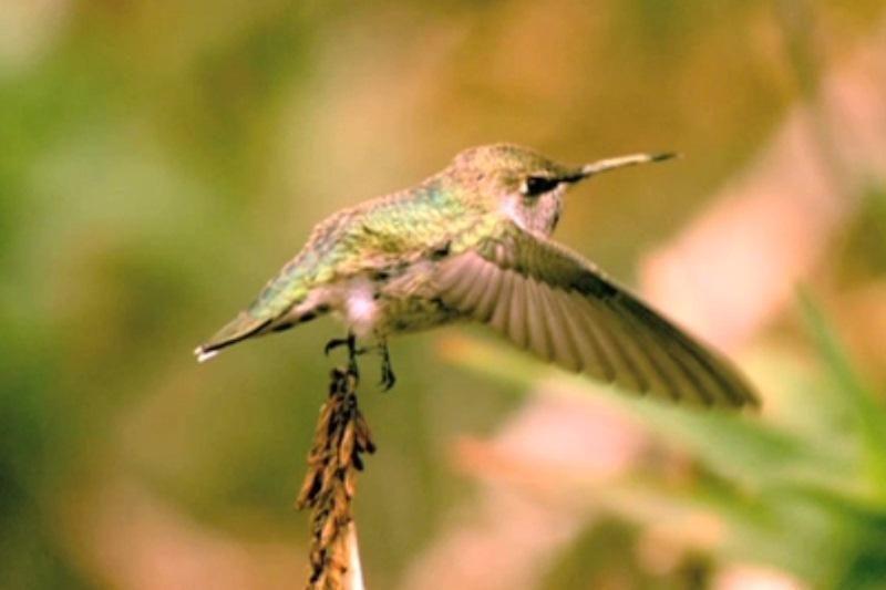 Kolibris – ne tik sparčiausiai skrenda, bet ir greičiausiai purtosi