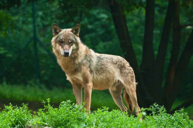 Kodėl kaukia vilkai?