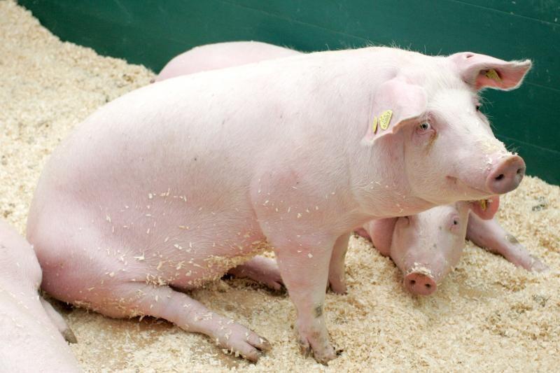 Maro nuniokotuose kompleksuose kiaulės dar nekriuksi