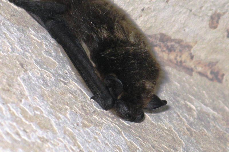 Šikšnosparniai giliai įmigę žiemos miegu