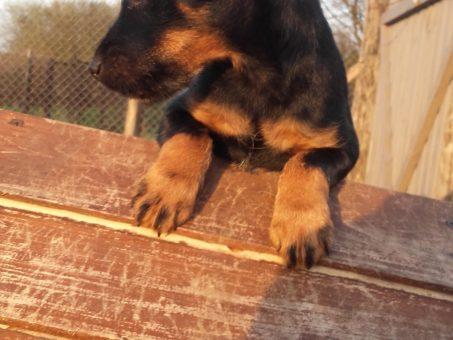 Skelbimas - jagdterjerų šuniukai