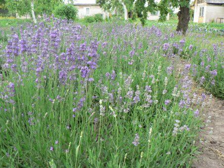 Skelbimas - Levandų sodinukai
