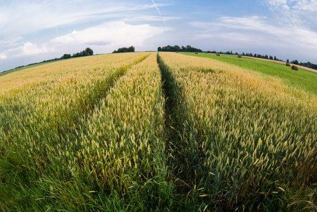 Rugius auginanti ūkininkė: ūkininkavimas – daugiau nei tik verslas