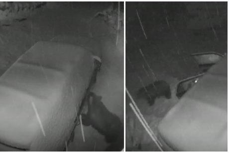 Neįprastas įsilaužimas į mašiną: užfiksuota vagianti meška
