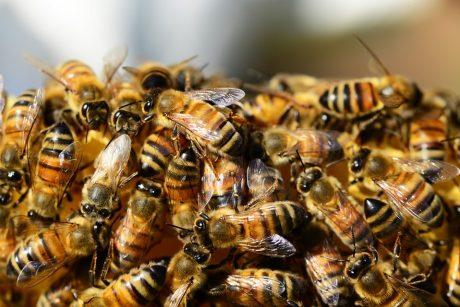 Kaip, įgėlus vabzdžiui, alerginę reakciją atskirti nuo įprastinės