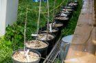 Ąžuolų klonų sodinimo akcija Rumšiškėse