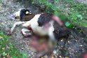 Antplūdis: Klaipėdos rajono miškuose įsiveisė tiek vilkų, kad per kelis mėnesius kaimuose papjauta beveik pusšimtis gyvulių.