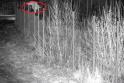 Ar atspėsite per kokio aukščio tvorą peršoko ši lūšis?