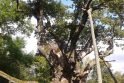 Galiūnas: gamtos paminklas Stelmužės ąžuolas sau lygių Lietuvoje neturi.
