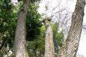 Škvalo pamokos: kaip pasodinti medį, kad jo nereikėtų pjauti