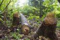 Ignalinos rajone jau dygsta baravykai
