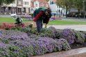Uostamiestis vėl puošiasi rudeninėmis gėlėmis