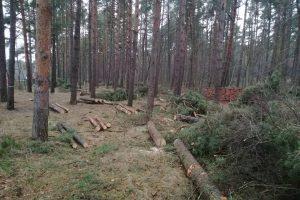 Dėl kertamo miško – palangiškių įsiūtis
