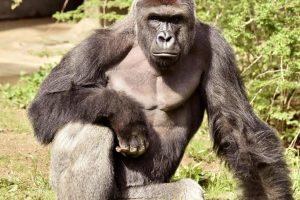 JAV zoologijos sodas teisina sprendimą nušauti gorilą, kad išgelbėtų vaiką