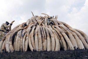 Pietų Afrikos šalys siekia legaliai prekiauti dramblio kaulu