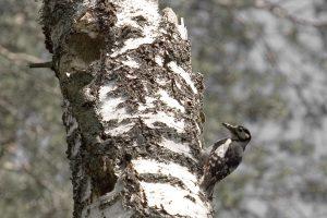 Medkirčiai neapskaičiavo – medis užvirto ant pravažiuojančio automobilio