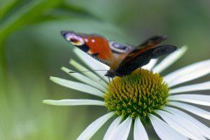 S. Paltanavičius: vasarą drugiai nuskrenda tūkstančius kilometrų